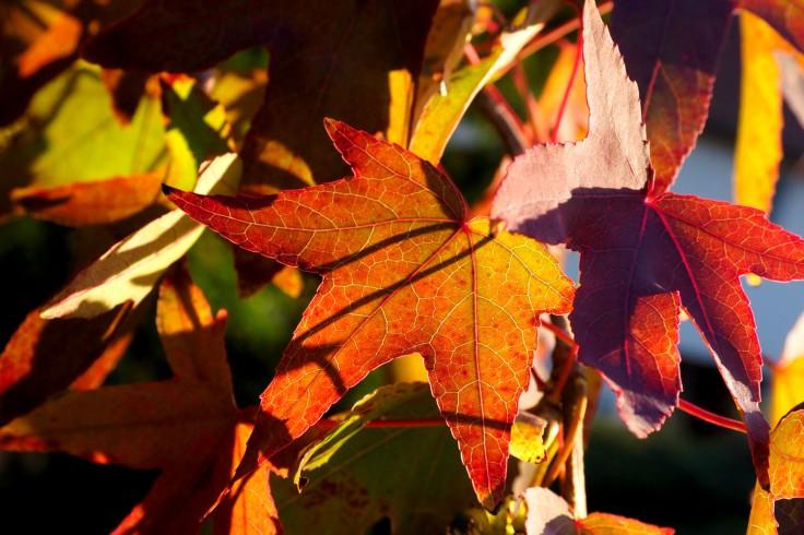 feuilles dans les tons rouge et or éclairées par le soleil