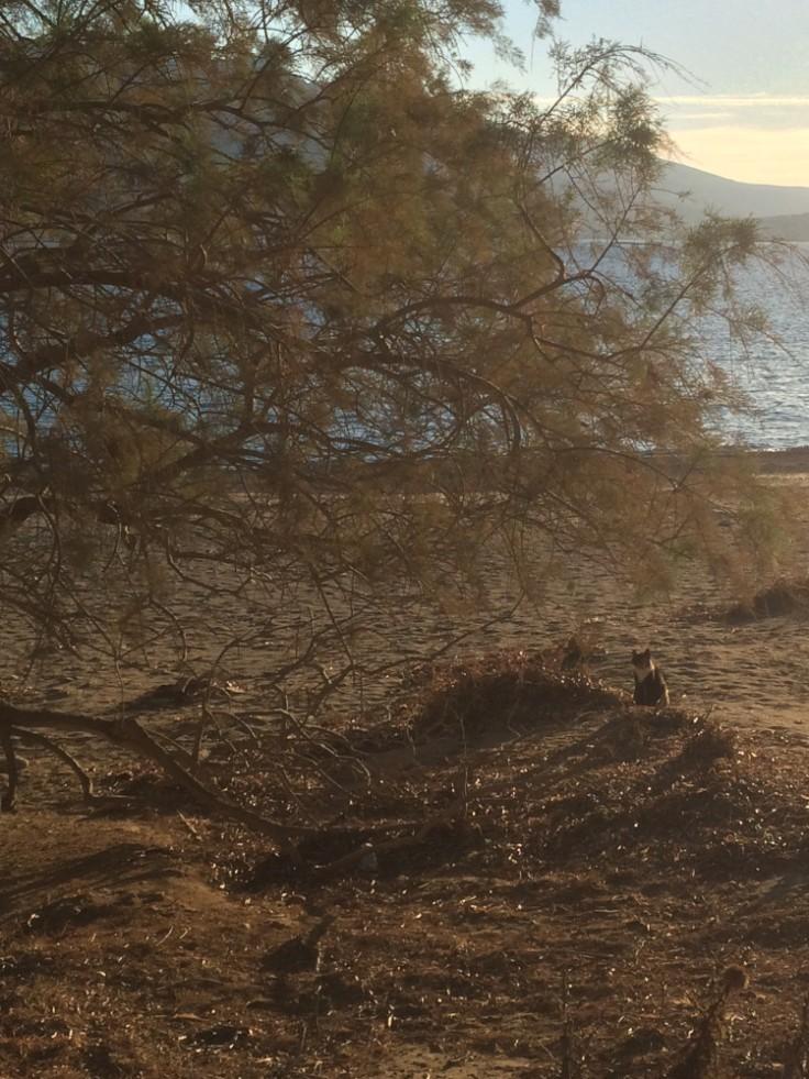 Chat sur une plage déserte au pied d'un tamaris.