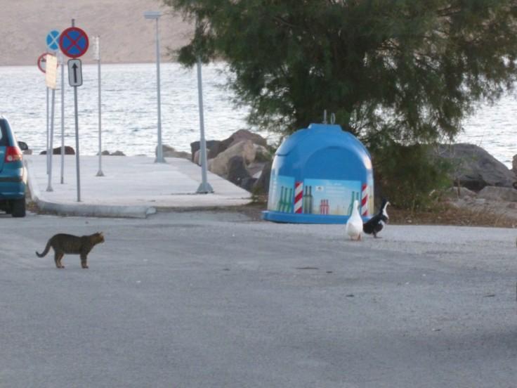 Chat lorgnant sur deux énormes canards sur le port de Milos, Grèce
