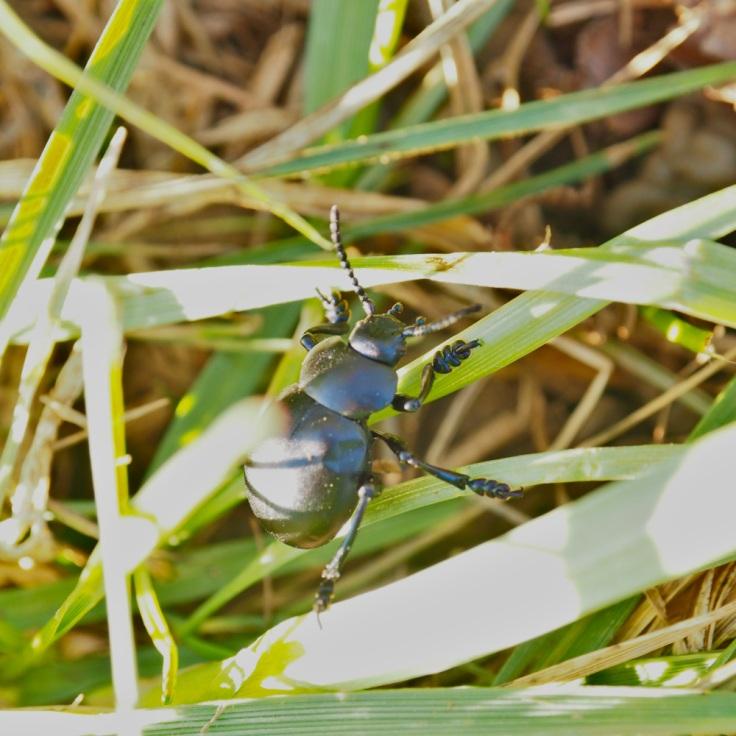 Crache-sang au soleil sur des brins d'herbe