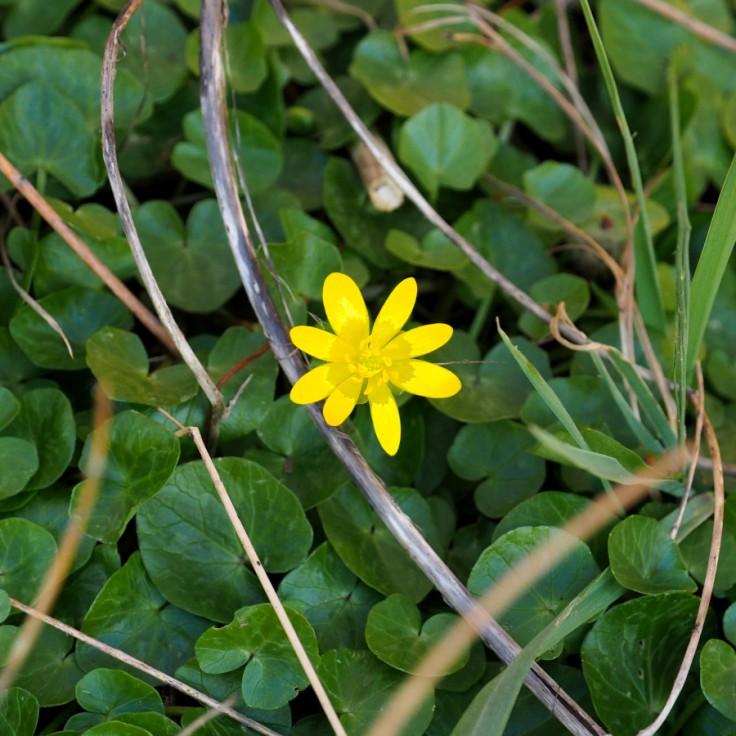 fleur de ficaire