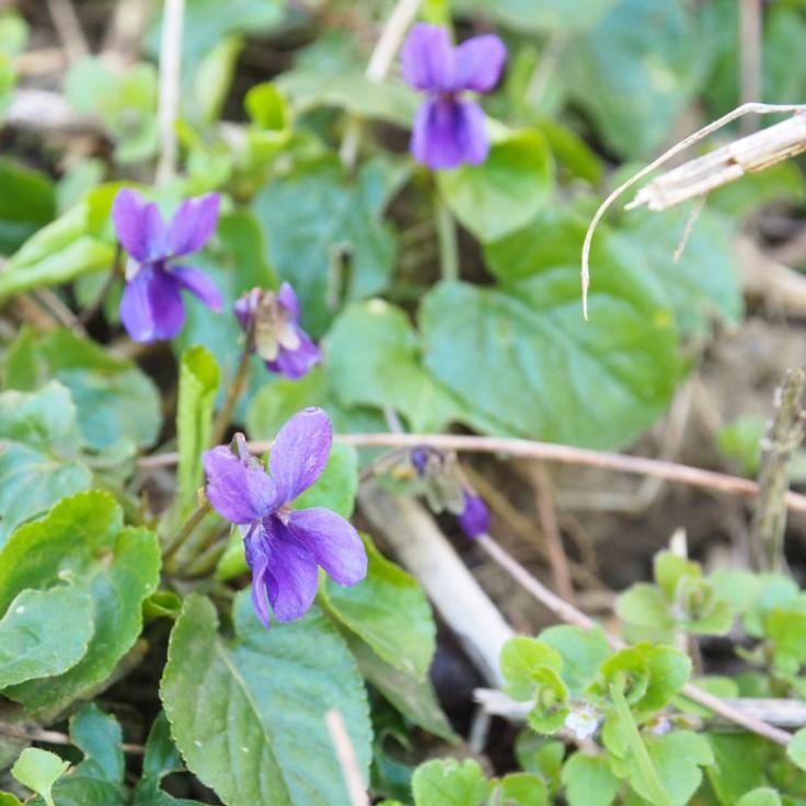 fleurs de violette