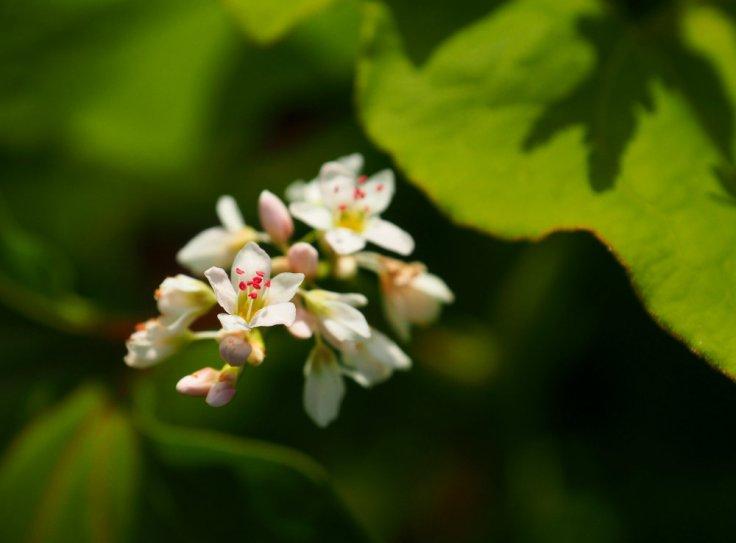 Gros plan sur une grappe de fleurs de sarrasin