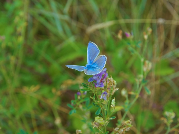Papillon bleu posé sur fleur violette