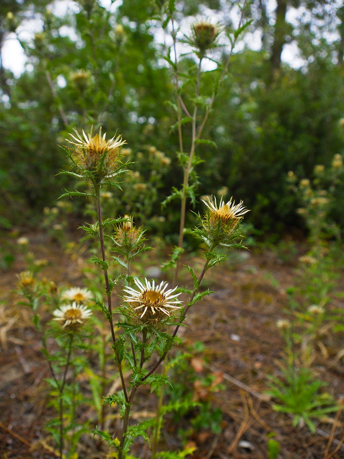Tiges et fleurs de carline