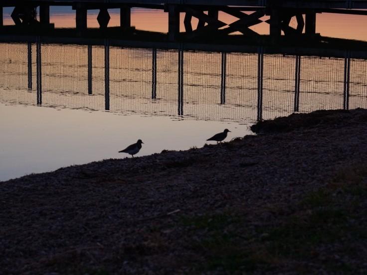 Silhouettes de passereaux sur le bord de l'eau